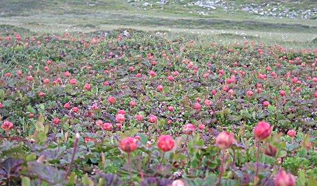 Det er fullt av molter i fjellet. Disse bildene er fra Ål i Hallingdal.