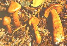 Orange giftslørsopp er ikke fullt så vanlig som spiss giftslørsopp. Men den er like giftig.