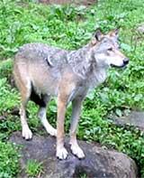 Ulven skal få lov til å vandre over halve Østfold.
