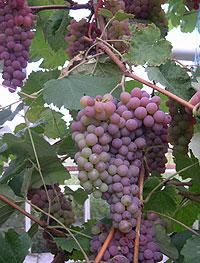 Nå kan land som vanligvis ikke produserer vin skilte med vinranker.