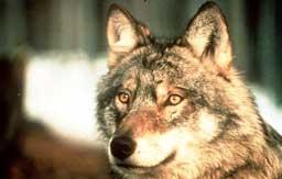 Ulven i Norge er ikke utsatt, mener DN. (Foto:Scanpix)