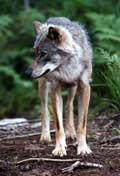 Det er gitt fellings-tillatelse for en ulv i Aust-Agder