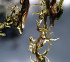 Sphagnum-mosens hemmelighet ligger i bladene