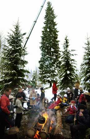 FELT: Årets London-julegran ble i dag felt i Østmarka utenfor Oslo. (Foto: Heiko Junge/SCANPIX)