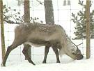 Reinen fryser ikke på beina! Foto: NRK.