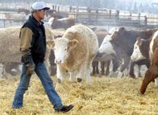 Kjøttprodusentene i USA er livredde for at kugalskapen skal spre seg.