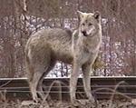 Ulven kan ikke regne med like god beskyttelse i Østfolds skoger med et nytt Storting.