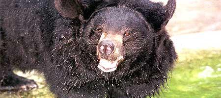 Vær stille så du ikke vekker bjørnen. (Foto: AP)