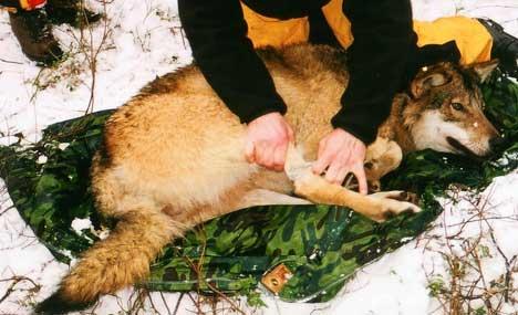 Fanging og merking av ulv er dyreplageri sier Naturvernforbundet i Halden. Foto: Svein Nic. Norberg, SCANPIX
