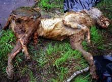 Naturvernerne frykter at ulvene blir funnet via Skandulvs peilerutstyr og skutt. Ulven på bildet ble funnet i Värmland i Sverige sommeren 2003. Politiet vet ikke om den døde en naturlig død eller ble drept. Foto: Kent Jonsson, SCANPIX