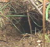 Nebbdyrhole (Foto: ABC)
