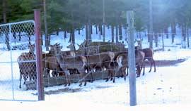 På Maarud gård i Sør-Odal har de 100 hjort i oppdrett.