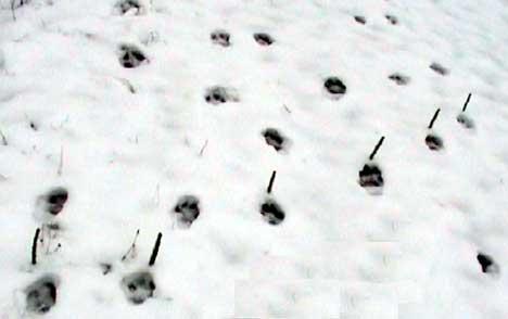 Flokken som vandrer i områdene ved Dalsland og Halden talte i vinter seks dyr. Foto: Statens Naturoppsyn.