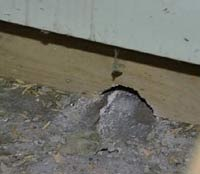Noen mener at rotter har blitt mer motstandsdyktige mot gift.