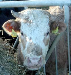 I år blir det et underskudd på storfekjøtt.