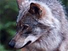 Det kan være umerket ulv i Stor-Elvdal. (Foto: Gorm Kallestad, Scanpix)