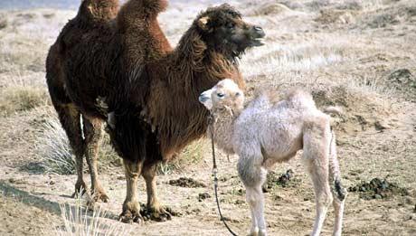 Flyktningtjenesten i Løten vil gi flyktningene kameler.