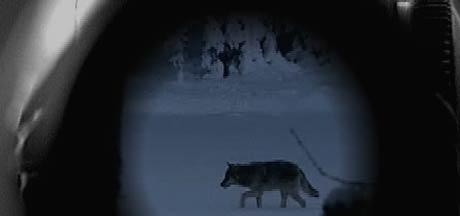 Ulvetispa i grenseområdet mellom Østfold og Akershus kan bli skutt. Tispa har drept rundt 30 hunder og beveger seg stadig nærmere folk. Foto: Scanpix.