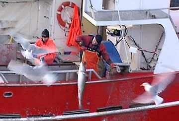 Kystflåten er både lønnnsom og miljøvennlig, mener Naturvernforbundet. (Foto: Kurt Ivar Amundsen)