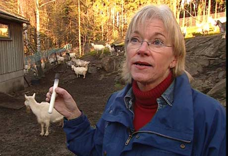 Gerd Vegarud forsker på geit. Foto: NRK