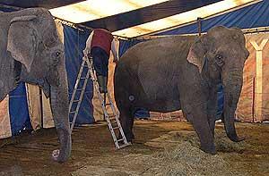 Elefanter på Cirkus Arnardo. (Arkivfoto/NRK)