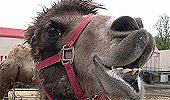 En kamel fra sirkus Arnardo