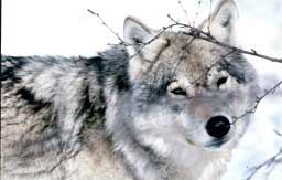Ulven skaper debatt.