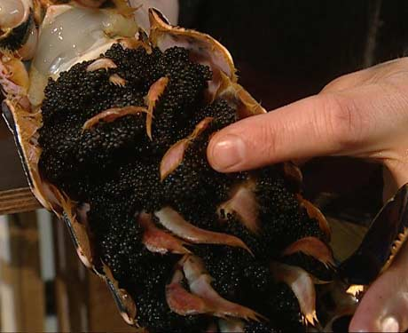 En to-kilos hummer har ca. 20 000 egg (Foto: NRK)