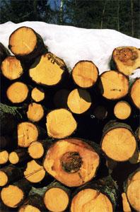Austevollingene vil heller ha liggende enn stående trær. Illustrasjonsfoto: Scanpix.