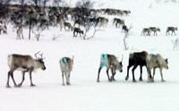 Reinen holder sammen i flokker. Foto: NRK.