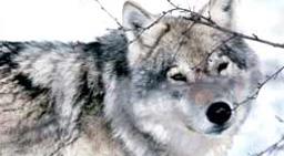 To domfelte menn fra Sør-Odal er blant de som har fått utbetalt penger etter at de hadde lagt ut giftåte til ulv.