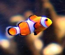 Det finnes mange fine akvariefisker. Foto: NRK