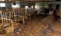 En kalv hadde dødd på båsen, mens 12 dyr måtte sendes til slakteriet. (Foto: Einar Almehagen)