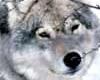 Jegerne har ikke sett noe til ulven i Stange.