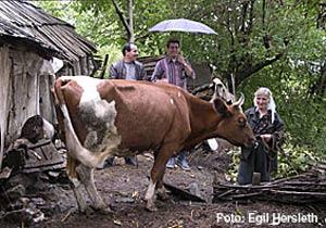 Geno på Hamar selger gener fra Dagors til Albania for 100 millioner kroner i året. (Foto: Egil Hersleth/geno.no)