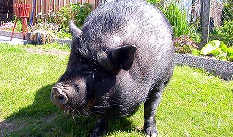 Hengebuksvinet Wilma må rekne med ein ny runde i rettsalen for å få bli hos matmora. Foto: NRK
