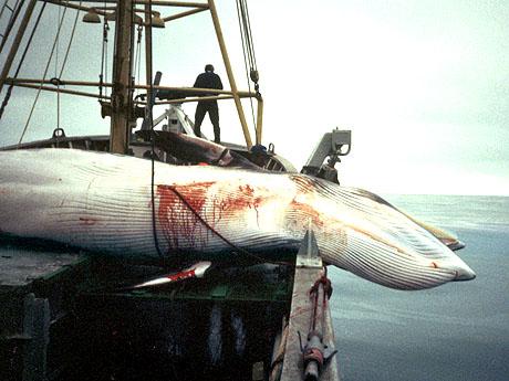 Roy Hansen tror hvalfangsten vil bestå, og mener man må høste av overskuddet som er i naturen. (FOTO: Ingeborg Hauglid / SCANPIX)