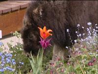 Moses luktar på blommorna (fritt etter oksen Ferdinand)