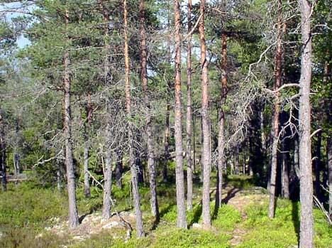 Det er voldsomt tørt i skogen nå, og brannen ved Kornsjø spredte seg raskt også fordi vinden var relativt sterk i området. Foto Rainer Prang NRK.