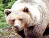 Bjørnen i Sunndal og Oppdal får en utrygg juli måned. (Foto: arkiv).