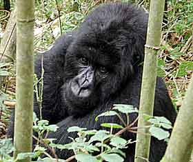 Denne gorillaen med bare en hånd, er foreviget i bambusskogen i Rwanda i november 2002. Foto: Rodrique Ngow, ap.