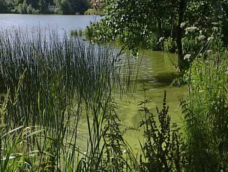 Algesuppe: Algene tok overhånd i Vansjø i sommer.