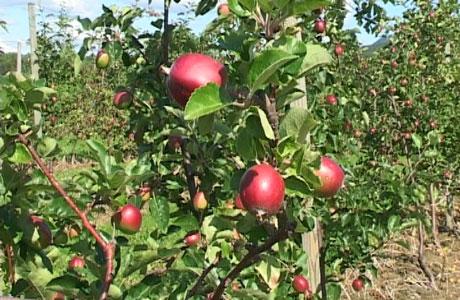 Epledyrkere i Sauherad har begynt med en ny form for epledyrking. Foto: Anne Lognvik.