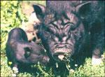 "Villsvinbesøket kan resultere i ""Villgrisunger"".(Foto: Arkiv)"