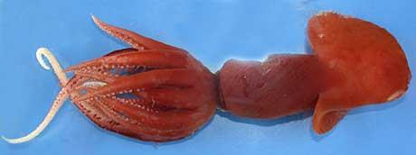 Et uvanlig medlem av blekksprutfamilien Promachoteuthidae. Foto: Richard Young.