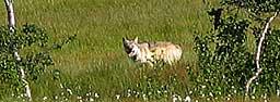 Ulven har vandret fra Åmot via Sverige til Grane i Nordland. (Foto: Margrethe Farbu)