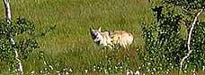 Margrethe Farbu tok bilde av ulven i Grane.