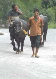 Hovedveiene ligger øde, men disse bøndene driver dyrene sine fram på en av landets eldste veier (Scanpix/Reuters)