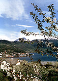 Frukttrær i blomst i Hardanger
