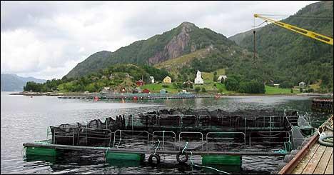 Oppdrettsmerdar i Rugsund. (Foto: Arild Nybø © 2003)